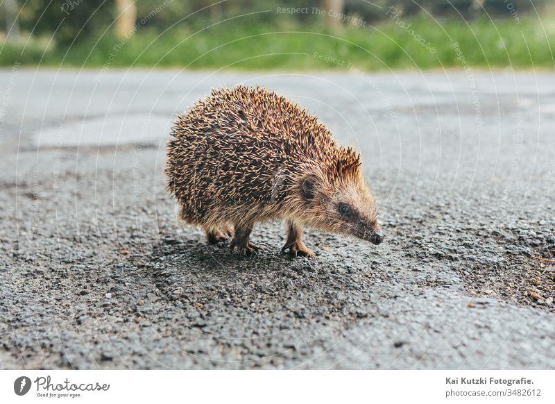 Igelbaby auf einer Strasse in Norddeutschland Tier Baby Tierjunges Tierbabys verschwommener Hintergrund braun Nahaufnahme niedlich süßes Tier süße Tiere