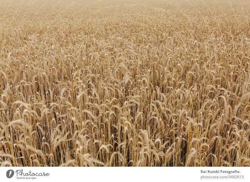 Weizenfeldtextur Hintergrund Kornernte Ackerbau Herbst Transparente Brot Müsli Land Landschaft Ernte kultiviert Detailaufnahme Europa fallen Bauernhof