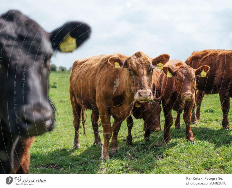 Kühe auf einer Weide in Norddeutschland Kuh Kuhherde Herde Wiese Vieh Viehzucht Viehhaltung Sonne Nutztier Außenaufnahme Tier Natur Tiergruppe Milchwirtschaft