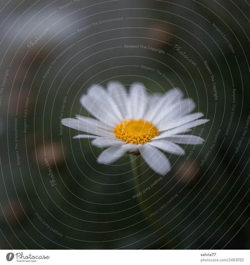 Margeritenblüte Blume Blüte Natur Pflanze Frühling Blühend gelb schön Nahaufnahme Garten Unschärfe Makroaufnahme Menschenleer Detailaufnahme Textfreiraum oben
