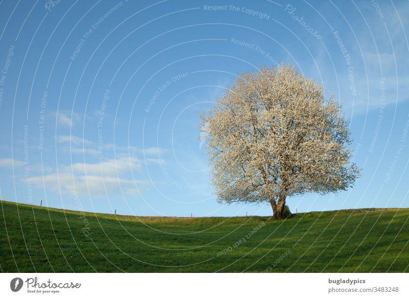 Einzelner weiß blühender Baum auf einer grünen Wiese im Frühling in der Sonne vor blauem Himmel mit wenigen weißen Wolken Zaun Frühlingsgefühle Frühlingstag