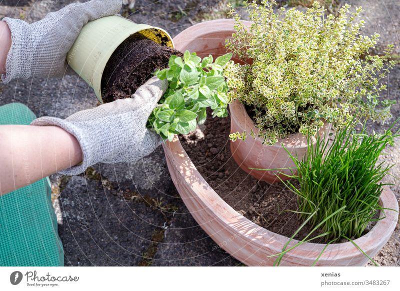 Basilikum wird von Händen einer Hobbygärtnerin in Arbeitshandschuhen aus dem Topf geholt und bald zu anderen Kräutern gepflanzt Einpflanzen Schnittlauch