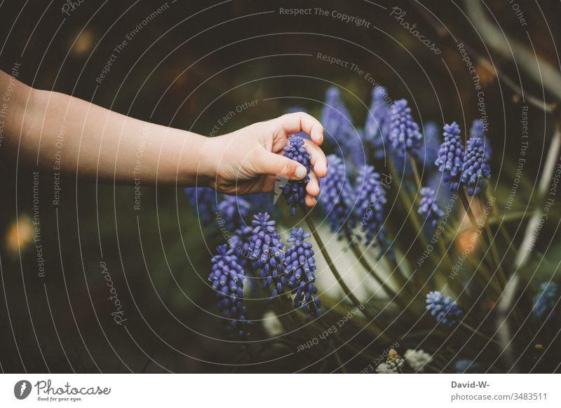 Kind findet im Garten eine Traubenhyazinthe Finger Blüte anfassen erkunden tasten schön neugierig Kleinkind klein lila Frühling Fruehjahrsblumen Frühjahr
