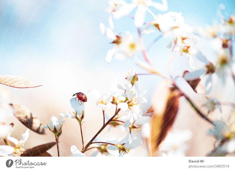 Marienkäfer sitzt auf einer Blüte der Felsenbirne sitzen krabbeln krabbelkäfer krabbelt klein schön wunderschön wachsen Wachstum Sommer Frühling Sommertag