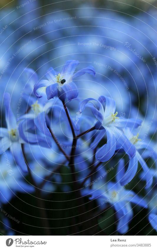 Schöne Blumen im Garten, Deutschland. Natur Frühling blau Pflanze Blüte purpur Makro geblümt Blütezeit Schönheit Blütenblatt Sommer Flora schön Vergißmeinnicht