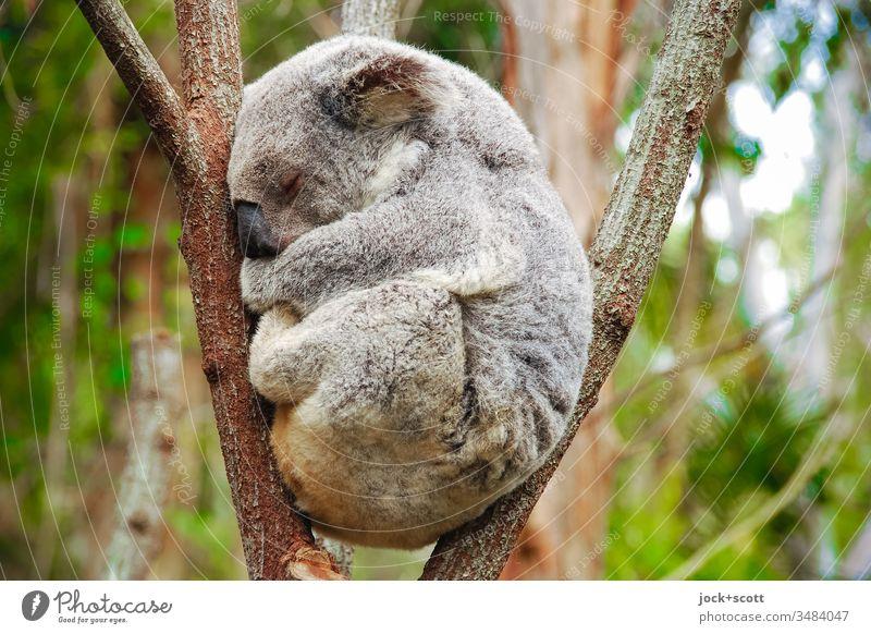 Ruhe bewahren in beklemmender Lage mein Freund Koala Australien 1 Geborgenheit Gelassenheit Idylle faulenzen Hochsitz Eukalyptusbaum Verhalten Gedeckte Farben