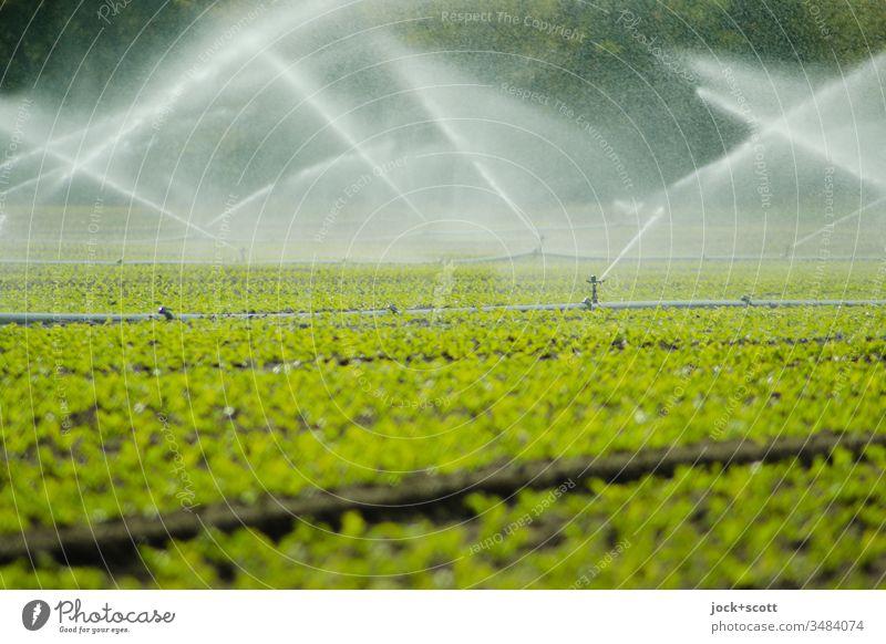 Grünes Feld wird mit viel Wasser gesprengt gießen grün frisch sprengen Bewegungsunschärfe Bewässerung Grünpflanze beregnung kultiviert wachsen bewässern