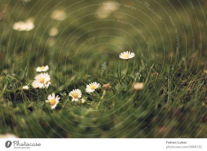 Gänseblümchen im Gras Sommer grün Wiese Blüte Blume Natur Garten Außenaufnahme Nahaufnahme Rasen Pflanze Farbfoto