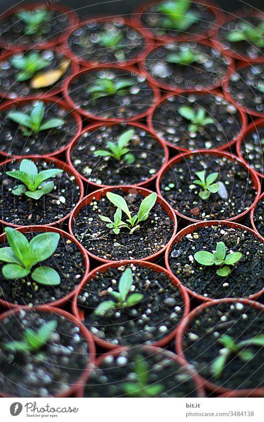 junge Setzlinge in Töpfen Aussaat Blumentöpfe Garten Gartenarbeit Samen Pflanze Frühling Keimling frisch Gemüse natürlich grün Feld Boden Blatt sprießen Erde
