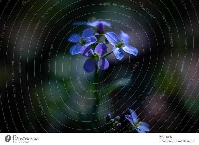Frühlingsblaue und violette Blüte Makro-Natur Frühblüher schön Schönheit Blütezeit Überstrahlung blüht blaue Blumen blaue Wildblume botanisch Nahaufnahme