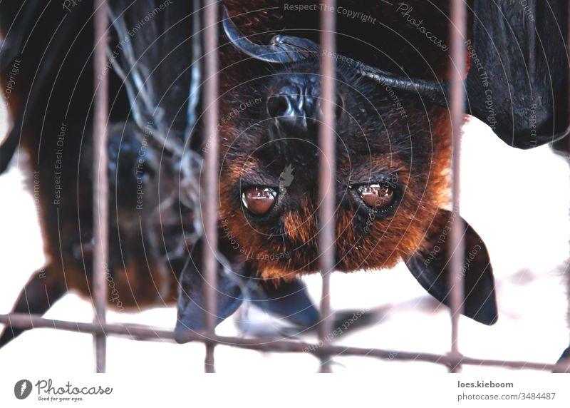 Nahaufnahme von Flughunde-Fledermäusen kopfüber in einem Käfig auf einem Markt für Nahrungsmittel, Sumatra, Indonesien Fledertiere Tierwelt schwarz fliegen