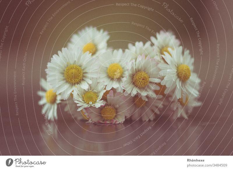 ein kleiner Gänseblümchenstrauß Frühling weiß Makroaufnahme Stillleben Nahaufnahme Innenaufnahme Blüte Pflanze Farbfoto Starke Tiefenschärfe Menschenleer