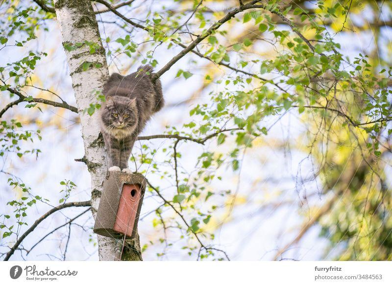 Katze klettert auf Baum um an Vogelhaus heran zu kommen Haustiere Ein Tier Rassekatze Langhaarige Katze maine coon katze weiß blau gestromt im Freien grün Rasen