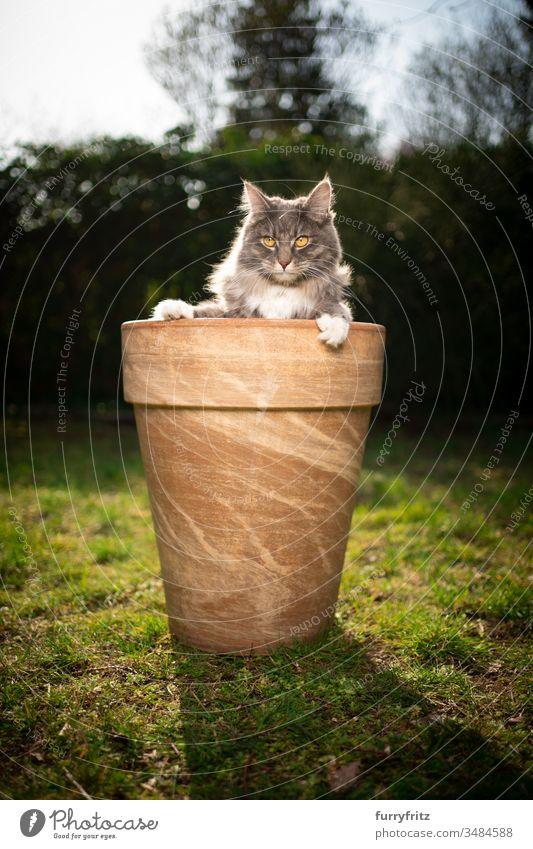 süße Maine Coon Katze im Blumentopf Haustiere Ein Tier Rassekatze Langhaarige Katze maine coon katze weiß blau gestromt im Freien grün Rasen Wiese Gras Garten