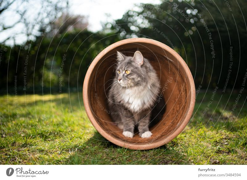 neugierige Maine Coon Katze im Blumentopf Haustiere Ein Tier Rassekatze Langhaarige Katze maine coon katze weiß blau gestromt im Freien grün Rasen Wiese Gras