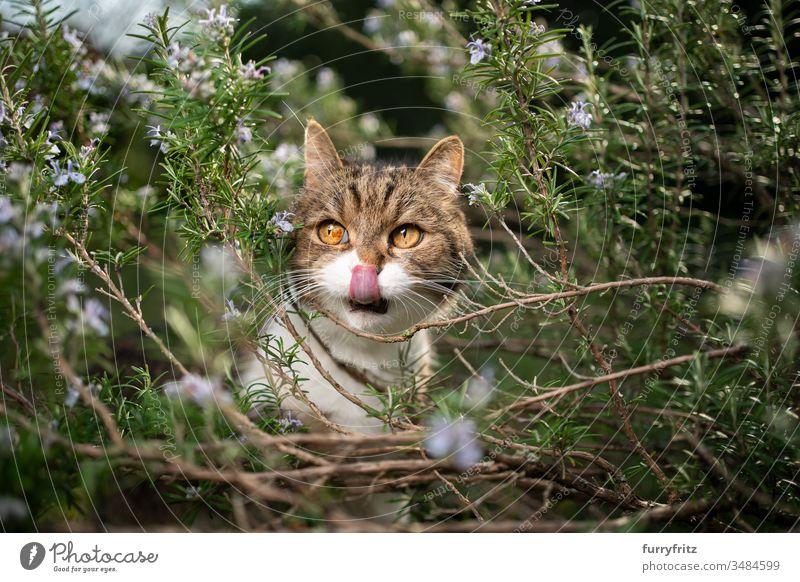 Britisch Kurzhaar Katze versteckt sich in blühendem Rosmarin Strauch Haustiere Ein Tier Rassekatze Kurzhaarkatze Tabby weiß im Freien grün Rasen Wiese Gras