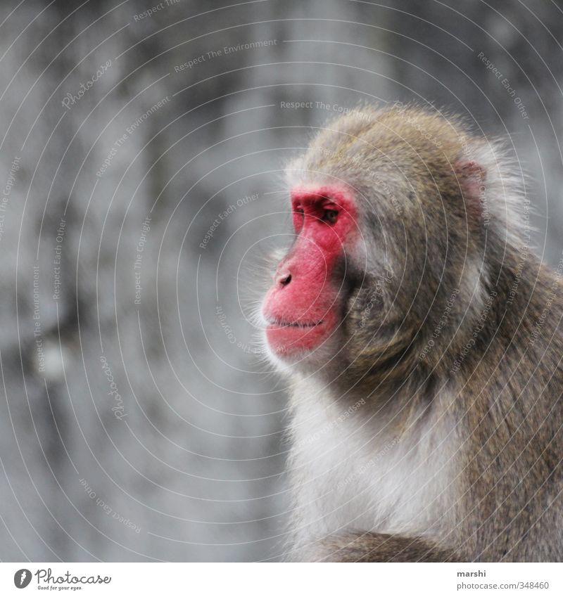 Sonnenbrand Tier Wildtier Tiergesicht Zoo 1 braun rot Affen Fell Tierporträt exotisch wildniss Natur Farbfoto Außenaufnahme Tag