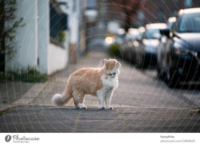 neugierige Maine Coon Katze, steht auf dem Bürgersteig einer öffentlichen Straße und trägt einen GPS Tracker am Halsband Haustiere Ein Tier Rassekatze