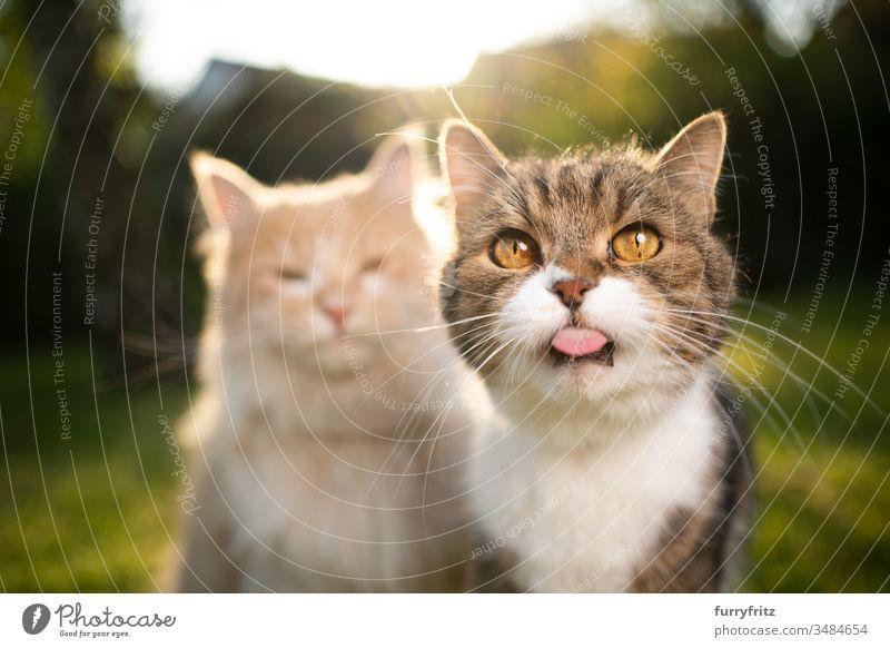 lustiges Porträt von zwei Katzen verschiedener Rassen Haustiere Zwei Tiere Rassekatze Langhaarige Katze maine coon katze Britisch Kurzhaar Tabby anders