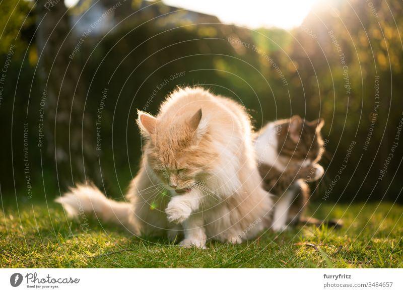zwei Katzen verschiedener Rassen putzen sich gleichzeitig Haustiere Zwei Tiere Rassekatze Langhaarige Katze maine coon katze anders Variation Vielfalt