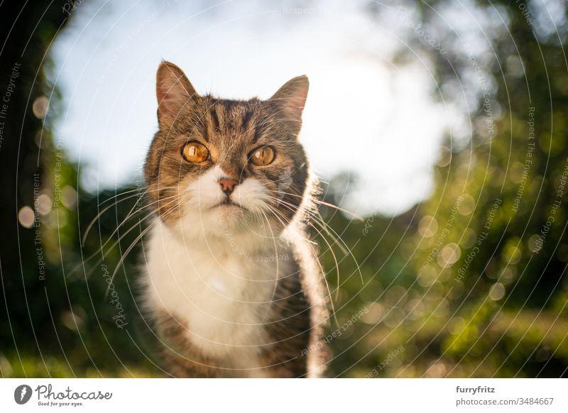 Portrait einer Britisch Kurzhaar Katze in der Natur Haustiere Ein Tier Rassekatze Kurzhaarkatze Tabby weiß im Freien grün Rasen Wiese Gras Garten