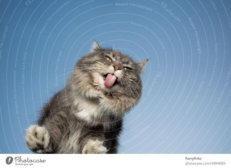 süße Maine Coon Katze leckt eine Fensterscheibe vor blauem Himmel ab Haustiere Ein Tier Rassekatze Langhaarige Katze maine coon katze weiß blau gestromt
