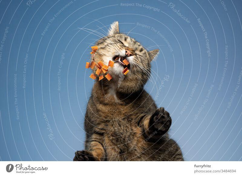 Unteransicht einer Katze, die Trockenfutter frisst Haustiere Ein Tier Mischlingskatze Kurzhaarkatze Tabby im Freien katzenhaft Fell Blauer Hintergrund Himmel