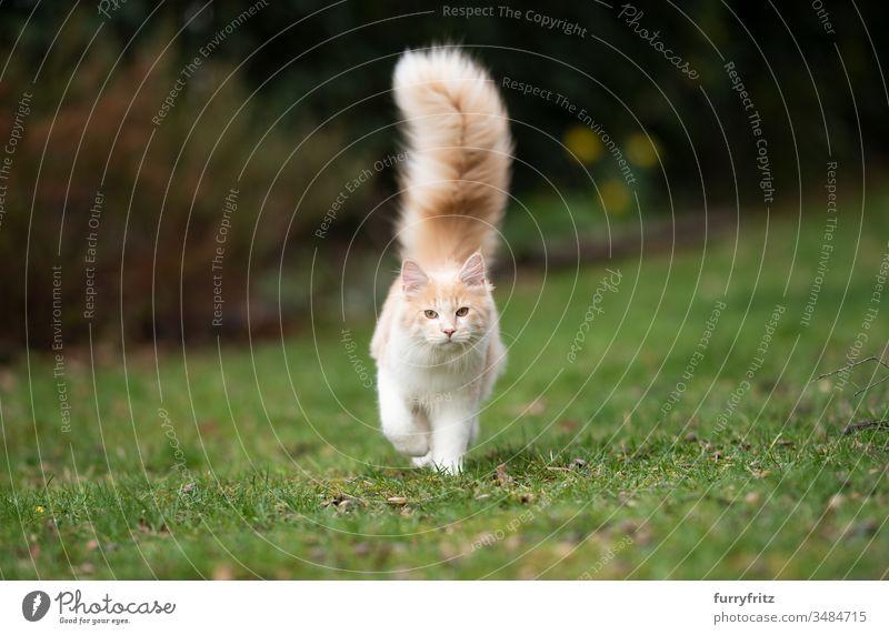 junge Maine Coon Katze mit flauschigem, langem Schwanz im Garten Haustiere Ein Tier Rassekatze Langhaarige Katze maine coon katze weiß Hirschkalb beige