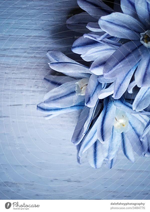 Blaue Blumen auf blauem Hintergrund Blauer Hintergrund abschließen Frühlingsblumenzwiebeln blaue Blumen