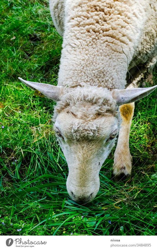 Schaf frisst Gras Wiese Weide Fressen Farbfoto Herde Außenaufnahme Tier Natur Tierporträt grün Tag Schafherde Feld Landschaft Nutztier Menschenleer Wolle