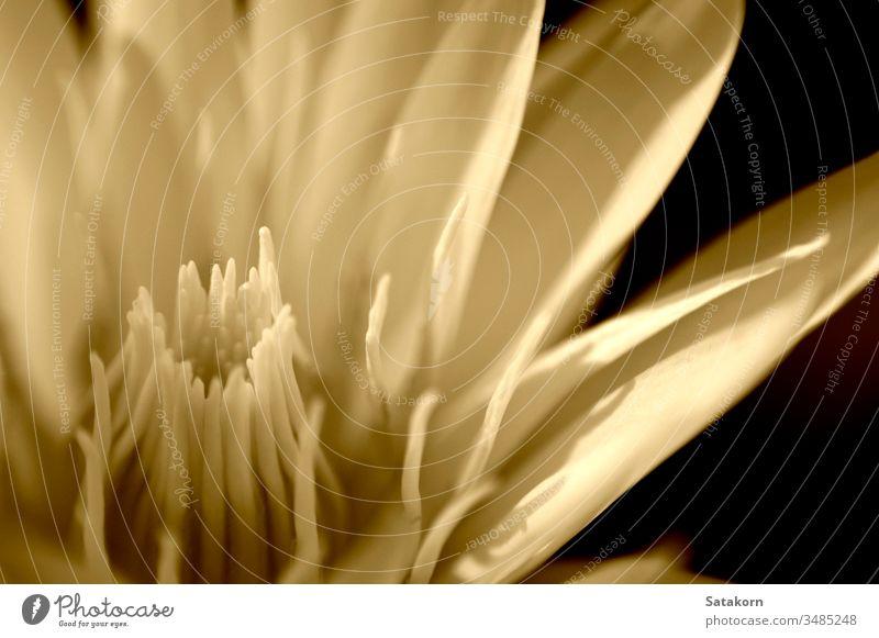 weiße Seerose in Sepia aquatisch asiatisch Hintergrund schön Schönheit Überstrahlung Blüte Botanik abschließen Farbe Flora geblümt Blume frisch Garten Leben