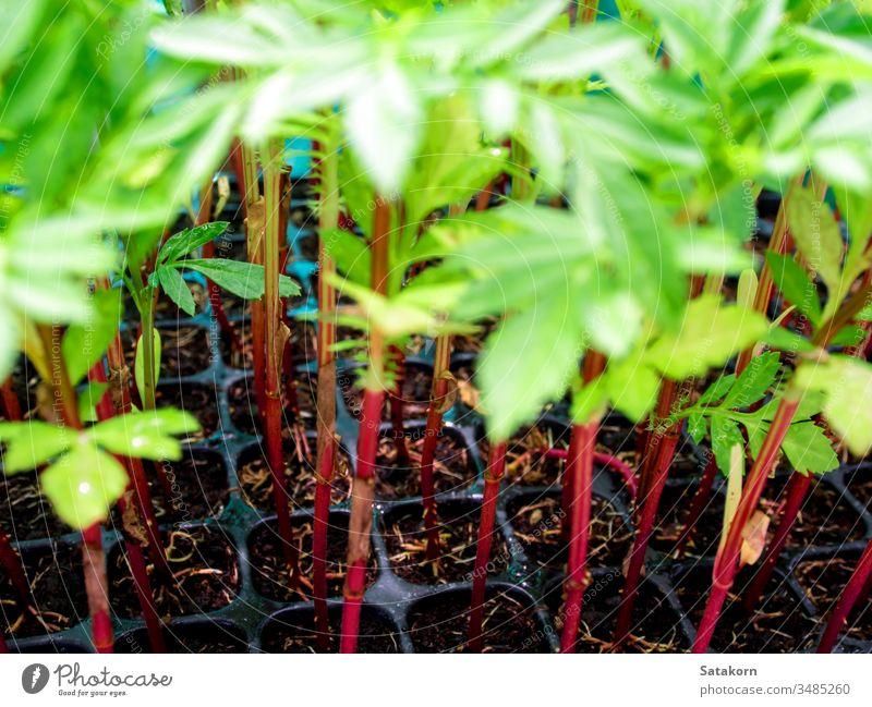 Roter Stamm von Ringelblumensetzlingen in Kunststoff-Setzkasten Keimling Wurzeln Tablett jung sprießen Natur Blume Pflanze Hintergrund grün rot frisch Garten