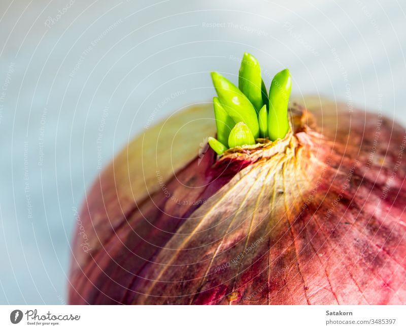 Neue Knospenblätter der roten Zwiebel grün Blütenknospen Pflanze Blatt neu jung Gemüse Wachstum sprießen Natur Lebensmittel Gesundheit frisch organisch purpur