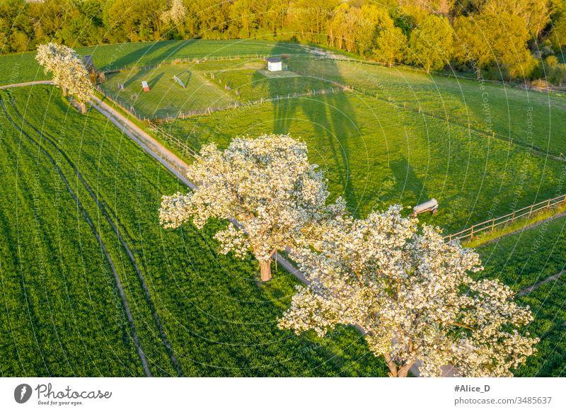 Frühlingsblüte Obstbäume auf hellgrünen Feldern oben Antenne Luftaufnahme landwirtschaftlich Ackerbau Apfel Hintergrund Überstrahlung Ast Landschaft Dröhnen