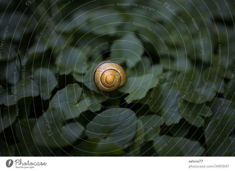 im Mittelpunkt, gelbes Schneckenhaus liegt auf dunkelgrünem Blätterteppich Natur Nahaufnahme Kontrast Tier Menschenleer Pflanze 1 Farbfoto Farbkontrast klein