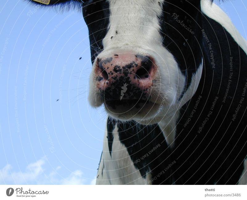 muh 2 Kuh muhen Tier Wiese Weide fliegen Himmel