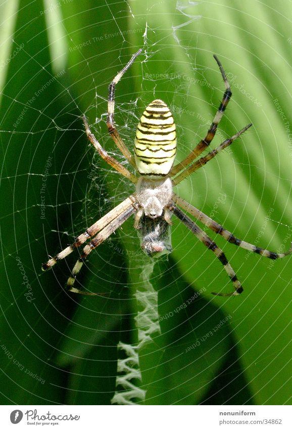 Spinne mit Beute Blatt Frankreich Spinnennetz Wespenspinne Ekel Netz Nahaufnahme Beine