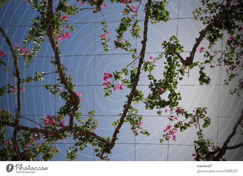 Blütendach Ferien & Urlaub & Reisen blau grün Sommer Pflanze Erholung Garten rosa Park Zufriedenheit Häusliches Leben Blühend unten exotisch Fernweh
