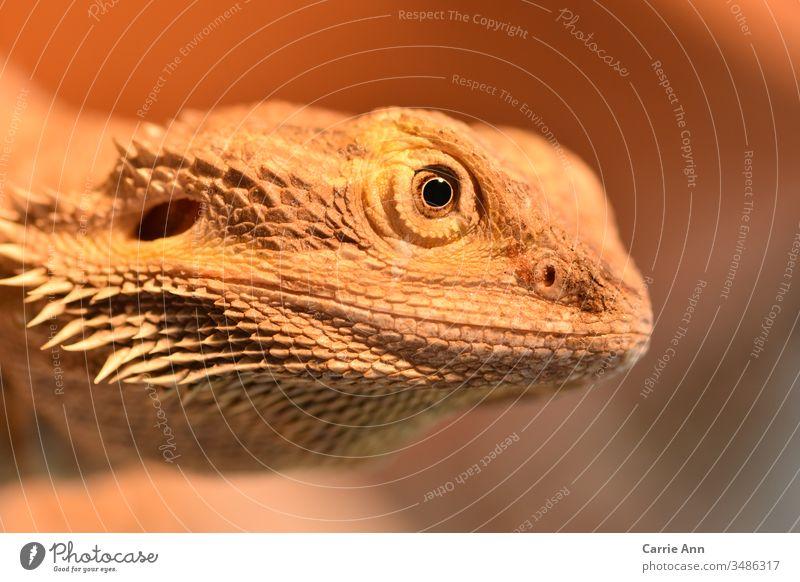 Bartagame im Seitenprofil Echsen Auge Seitenansicht Gesicht Kopf Reptil Drache Tier Tierporträt Zoo Blick Farbfoto Natur