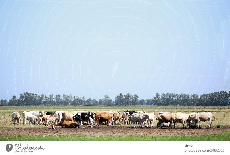 Das Muh der Kuh | Geräusch ::: und viele Kühe machen Mühe (zugegeben nicht ganz so sehr auf offener Weide unter freiem Himmel mit guten Sozialkontakten) kuh