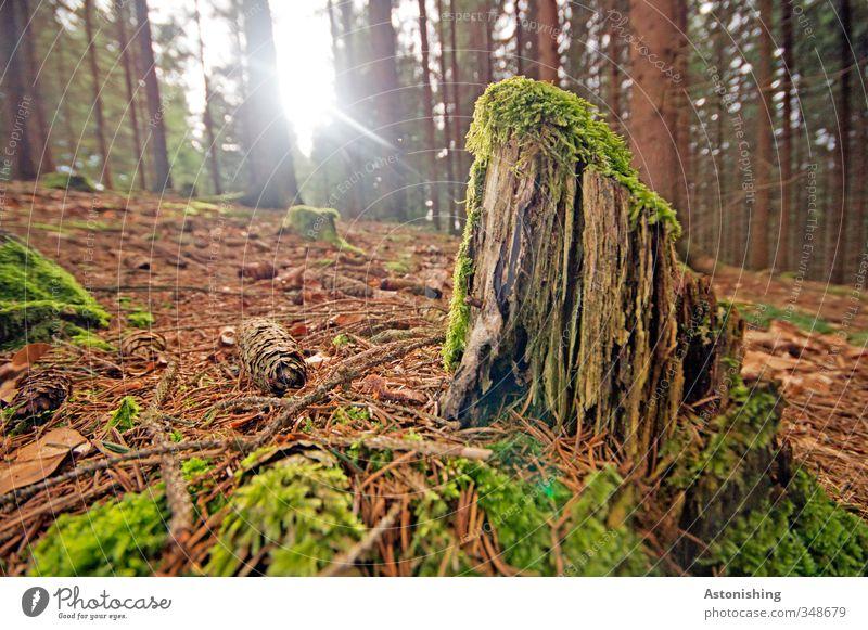 der letzte Rest des Baumes Umwelt Natur Landschaft Pflanze Erde Himmel Sonne Sonnenlicht Frühling Wetter Schönes Wetter Wärme Moos Blatt Wald Holz stehen klein