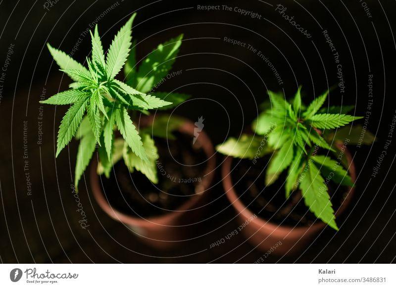 Zwei junge Hanfpflanzen Cannabis anbau Rauschmittel Nutzpflanze Alternativmedizin hanfpflanze Cannabispflanze THC Nahaufnahme Pflanze Rauchen Cannabisblatt