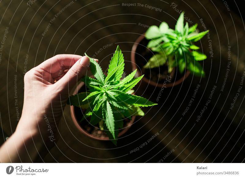 Cannabis Anbau zuhause Hanf pflegen Hand anbau Pflanze Nutzpflanze Alternativmedizin hanfpflanze Cannabispflanze THC Nahaufnahme Rauchen Rausch Cannabisblatt