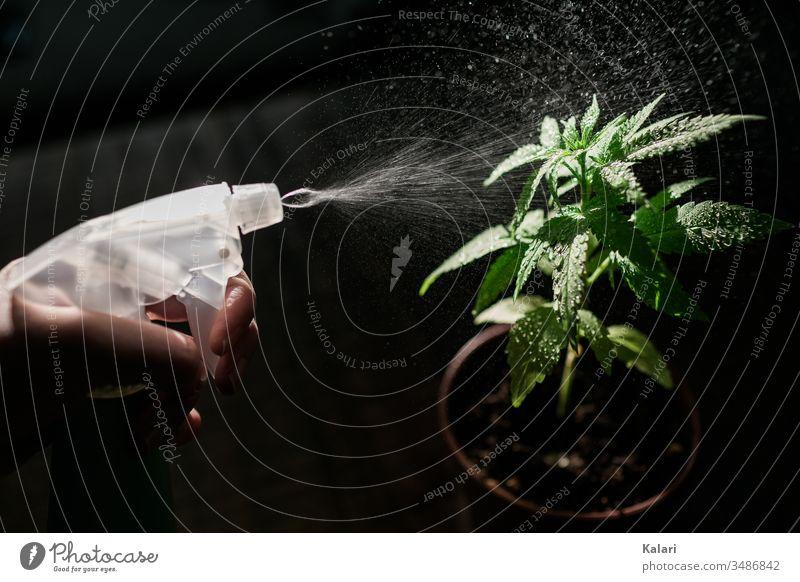 Pflege einer jungen Cannabis Pflanze mit einer Sprühflasche Hanf anbau Rauschmittel sprühflasche Nutzpflanze ungesetzlich Alternativmedizin hanfpflanze