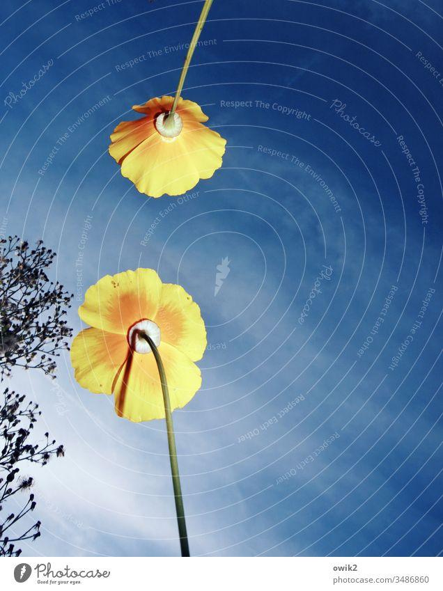 Begegnung Blumen Blüten Mohn Kalifornischer Mohn Blick nach oben Himmel Sonnenlicht Blitzlichtaufnahme wachsen Natur Sommer blau gelb blühen Garten Wiese Bäume