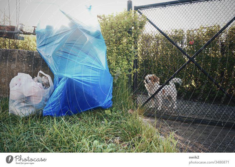 Buddy Garten Gartentür Gitter Hund Pinscher aufpassen wachsam Kontrolle aufmerksam beobachten neugierig Abfall Müll Mülltüten blau stehen abholbereit Gras Hecke