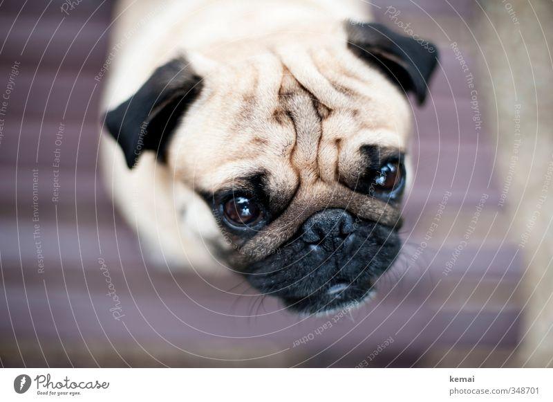 Roll doch mal den Mops vom Sofa Tier Haustier Hund Tiergesicht Fell 1 Blick Falten Auge Ohr Schnauze platt Farbfoto Gedeckte Farben Außenaufnahme Nahaufnahme