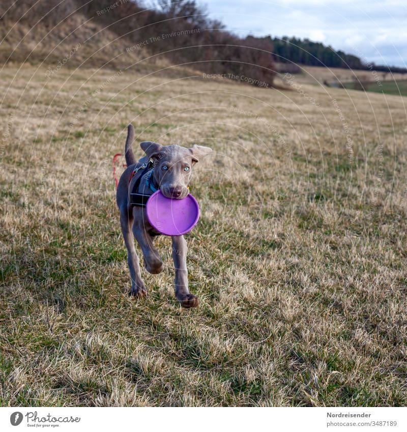 Weimaraner Welpe mit Wurfscheibe auf einer Wiese weimaraner welpe hund haustier braun hübsch jagdhund portrait reinrassig wald gras jung freudig säugetier toben