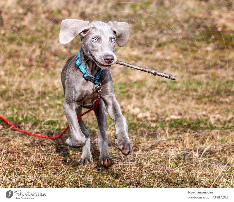 Kindchenschema bei einem Weimaraner Welpen beim spielen auf einer Wiese weimaraner welpe hund haustier braun hübsch jagdhund portrait reinrassig sprache gras