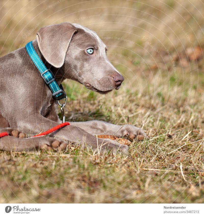 Weimaraner Welpe mit blauen Augen auf einer Wiese weimaraner welpe hund haustier braun hübsch jagdhund portrait reinrassig sprache gras jung freudig säugetier